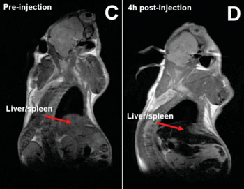 Image: Whole body images of a mouse before and after nanoparticles injections. Signal loss in the liver and the spleen due to the accumulation of iron from the nanoparticles is indicated by the red arrows. (Photo courtesy of Imperial College London).